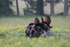 Wild turkeys Royalty Free Stock Image