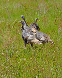 Wild turkeys in prairie grasses Royalty Free Stock Photography