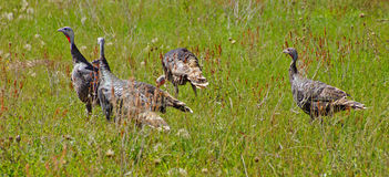 Wild turkeys in prairie grasses Stock Photo