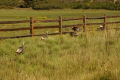 Wild turkeys in prairie grasses Royalty Free Stock Image