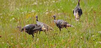 Wild turkeys in prairie grasses Royalty Free Stock Images