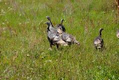 Wild turkeys in prairie grasses Royalty Free Stock Image