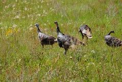 Wild turkeys in prairie grasses Royalty Free Stock Images