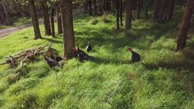 Wild turkeys by road. Wild turkeys in a forest by a road in New Zealand stock footage