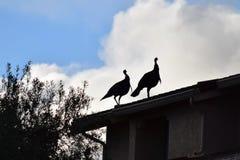 Wild Turkeys on Roof  Stock Image