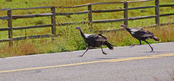 Wild turkeys running across the hghway Stock Images
