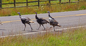 Wild turkeys running across the hghway Royalty Free Stock Photo