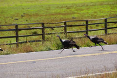 Wild turkeys running across hghway Royalty Free Stock Image
