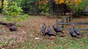 Wild Turkeys. Running wild in Walled Lake, Michigan. Seven female turkeys wild in nature, finding a new sanctuary to reside in. Welcomed and photographed on Stock Photos
