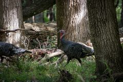 Free Wild Turkeys Search For Food In Forest Stock Images - 113970704