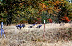 Wild Turkeys Royalty Free Stock Photos