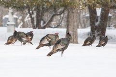 Wild Turkeys In Snow Stock Photos