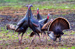 Wild Turkeys Sparring Royalty Free Stock Photography