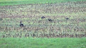 Wild Turkeys in spring. Wild Turkeys feeding and strutting in a field during 2017 spring in Pennsylvania stock video footage