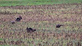 Wild Turkeys in spring. Several Wild Turkeys feeding in a field during spring in Pennsylvania 2017 stock video footage
