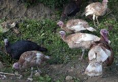 Wild turkeys Stock Images