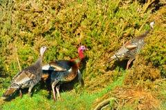 Wild turkeys Stock Photos