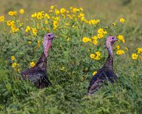 Wild turkeys. Frolicking in the bright yellow flowers Stock Photos
