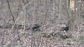 Wild turkeys in the woods. Two Wild Turkeys gobblers walking through a wooded area during winter in Pennsylvania 2017 stock footage