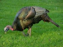 Wild Turkije 1 Stock Afbeeldingen