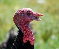 Wild Turkije royalty-vrije stock afbeelding