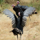 Wild Turkije Stock Foto