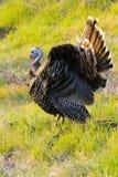 Wild Turkije Royalty-vrije Stock Fotografie