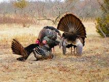 Wild Turkije die in het struikgewas tijdens het seizoen van het de lentefokken rusten Stock Foto
