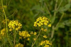 Wild turnip flowers - Brassica rapa oleifera Stock Image