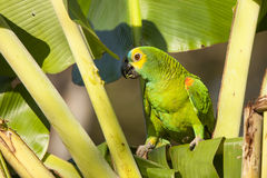 Wild Turquoise (Blue) Fronted Amazon Parrot in Pal Stock Images
