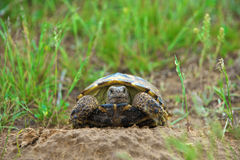 Wild turtle Royalty Free Stock Images