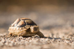 Wild turtle Royalty Free Stock Image