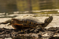 Wild turtle. Turtle sunbathing on a log over a river Royalty Free Stock Photos