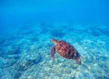 Wild turtle in blue water above corals. Olive green turtle underwater photo. Sea animal in coral reef. Coral reef ecosystem with plants and animals. Tropical Royalty Free Stock Photos
