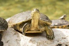 Wild turtle Royalty Free Stock Photo