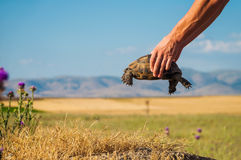 Wild turtle in mans hands Royalty Free Stock Photos