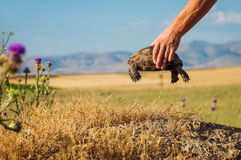 Wild turtle in mans hands Stock Images