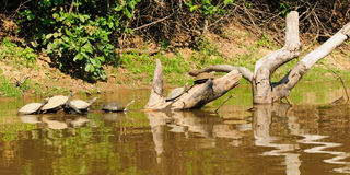 Wild turtles in the Amazon area in Bolivia Royalty Free Stock Photos