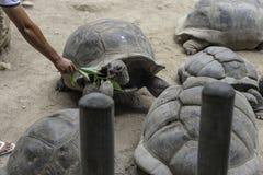 Wild turtles on seychelles Stock Photos