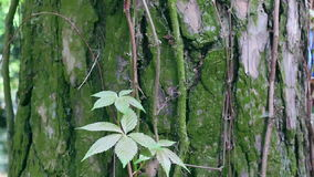 Wild twisted liana on a tree trunk in a jungle closeup stock footage