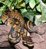 Wild Type Royal Python hatchling in foliage Stock Photos