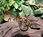 Wild Type Royal Python hatchling in foliage Royalty Free Stock Photos