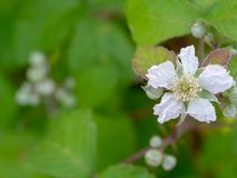 Wild, uncultivated blackberry flower with copy space. Sign of spring in the hedgerow Stock Photography