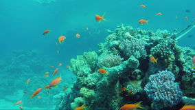 Wild underwater world with corals and colorful exotic fish. Red Sea in Sharm El Sheikh area stock footage