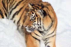Wild ussuriysky tiger on white snow. Wild siberian tiger on white snow. Animals in wildlife Stock Image