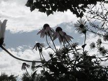 Wild van DE Saturated Bergmadeliefjes met Achtergrond van Hemel en Wolken stock foto