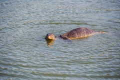 Wild varanus on the water Royalty Free Stock Image