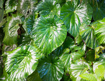 Wild variety of eddoes plant leaves Stock Image