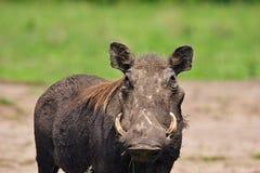 Wild varken Royalty-vrije Stock Foto