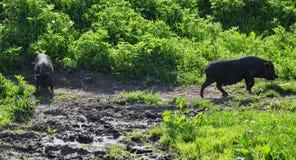 Wild varken Royalty-vrije Stock Afbeelding